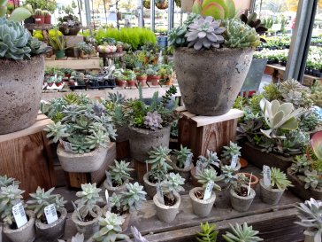 All the succulents (I could kill) in cement planters I loved